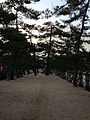 Pine trees near Itsukushima Shrine.jpg