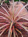 Pineapple (Ananas comosus) 1.jpg