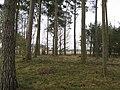 Pinewoods. Meikleour - geograph.org.uk - 351465.jpg