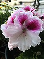 Pink and White Malva2.jpg