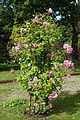 Pink rose trellis at Boreham, Essex, England 2.jpg
