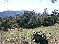Pinus nigra LESVOS.jpg