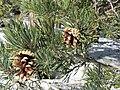Pinus sylvestris. Pinu roxu.jpg