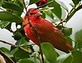 Piranga rubra (Cardenal abejero) - Flickr - Alejandro Bayer (1).jpg