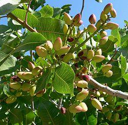 Gałązka pistacji właściwej z owocami