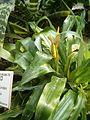 Pitcairnia andreana BotGardBln0712201B.JPG