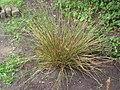 Pitrus plant (Juncus effusus) (1).jpg