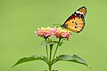 Plain Tiger Butterfly on its throne.jpg