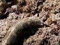 Plakobranchus ocellatus (14408307991).jpg