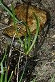 Plantago maritima plant (08) (cropped).jpg