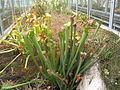 Plantes carnivores du jardin botanique de Lyon.jpg