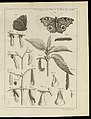 Plate 25, Illus. of cycle from caterpillar to butterfly Wellcome L0072138.jpg