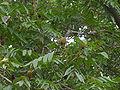 Platycarya strobilacea 1.JPG
