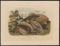 Pleuronectes platessa - 1838 - Print - Iconographia Zoologica - Special Collections University of Amsterdam - UBA01 IZ14000209.tif