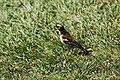 Plocepasser mahali -Nairobi Hill, Nairobi, Nairobi Area, Kenya -male-8.jpg