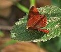 Plum Judy (Abisara echerius)- Female in Talakona, AP W IMG 8465.jpg