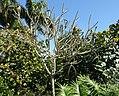 Plumeria obtusa - Naples Botanical Garden - Naples, Florida - DSC09989.jpg