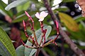 Plumeria rubra 16zz.jpg