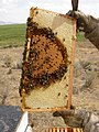 Pollinators13.tif (39002810742).jpg