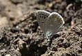 Polyommatus dorylas - Turkuvazmavisi 01-2.jpg