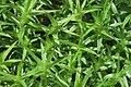 Polytrichastrum longisetum (a, 145003-472918) 6072.JPG
