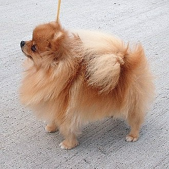 Companion dog - The Pomeranian started out as two types, a large, sled-type dog and the toy Melitaie. The sled dog was downbred and crossbred to the smaller to become the small companion dog it is today.