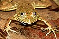 Pond frog.jpg