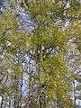 Populus × canescens (crown).jpg