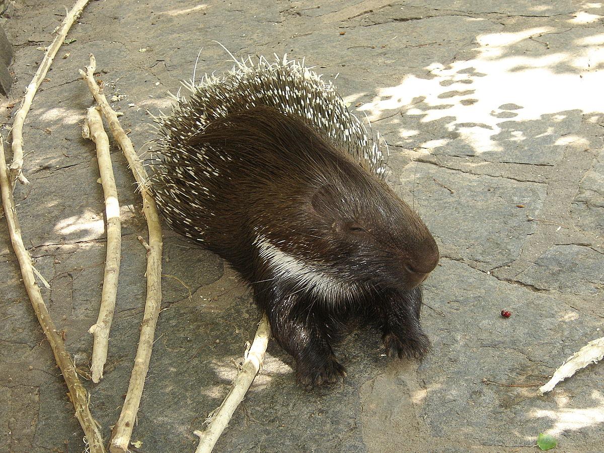 Old World porcupine - Wikipedia