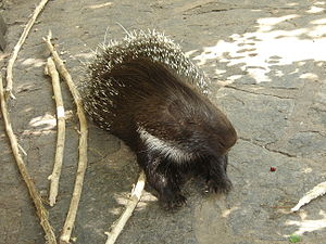 Old World porcupine - Old World porcupine