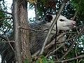Possum122708.JPG