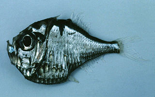 <i>Polyipnus</i> genus of fishes