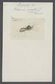 Prionotus - Print - Iconographia Zoologica - Special Collections University of Amsterdam - UBAINV0274 041 05 0006.tif