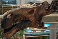 ProbactrosaurusGobiensis(Skull)-PaleozoologicalMuseumOfChina-May23-08.jpg