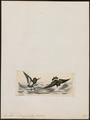 Procellaria melanogaster - 1820-1860 - Print - Iconographia Zoologica - Special Collections University of Amsterdam - UBA01 IZ17900066.tif