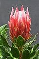 Protea cynaroides RTBG 1.jpg