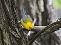 Prothonotary Warbler (34833581995).jpg