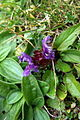Prunella grandiflora PID1479-1.jpg