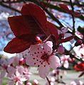 Prunus Cerasifera 01.JPG