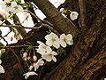 Prunus serrulata 2005 spring 009.jpg