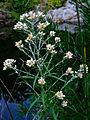 Pseudognaphalium obtusifolium - Sweet everlasting.jpg