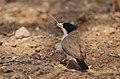 Pseudonigrita cabanisi -Buffalo Springs National Park, Kenya-8.jpg