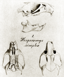 "From top to bottom: side view of skull with mandible, missing much of the posterior part; text ""1. Hesperomys simplex""; and views of the same skull from above and below."