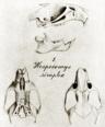 Pseudoryzomys simplex type.png