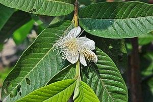 Psidium guajava - Flower
