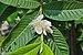 Psidium guajava flower 26032014 01.jpg