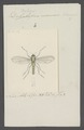 Psilopus - Print - Iconographia Zoologica - Special Collections University of Amsterdam - UBAINV0274 038 13 0002.tif