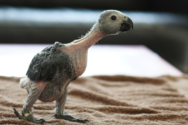 File:Psittacus erithacus -pet parrot -juvenile-8a.png