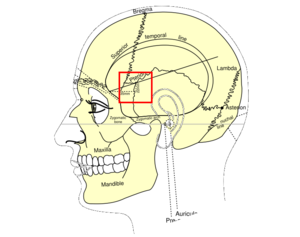 Pterion - Side view of head, showing surface relations of bones (Pterion labeled at center)