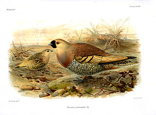 Madagascan sandgrouse Species of bird